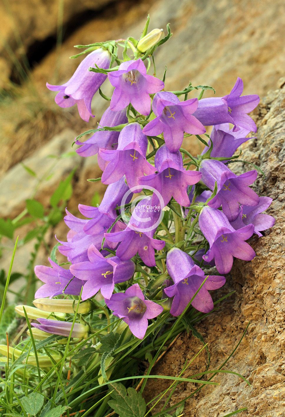 b_0_0_0_10_images_Pyrenean_Bellflower.jpg