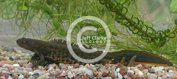 great crested newts 290410 600 jjc