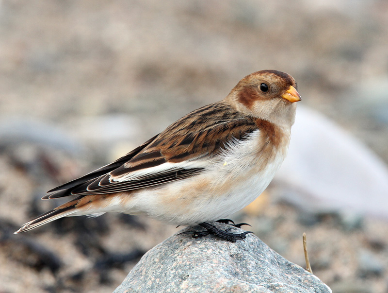 1st winter female Snow Bunting race insulae © Jeff Clarke
