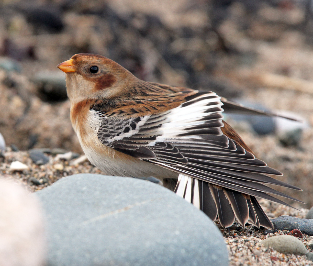 Snow Bunting 1st winter female race insulae