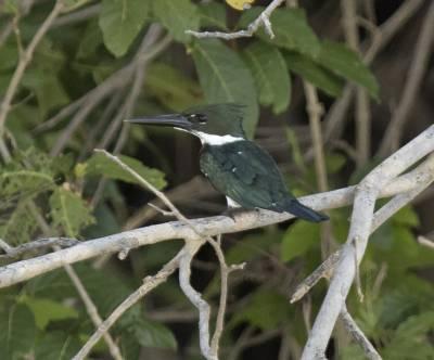 b2ap3_thumbnail_Amazon-Kingfisher-800-Santarem-JJC.jpg