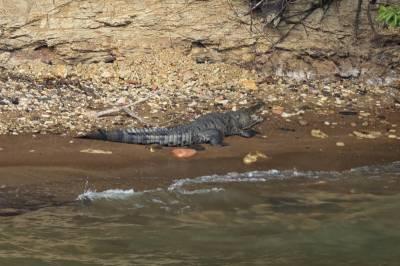 b2ap3_thumbnail_American-Crocodile-2-Panama-Canal-060219-800-JJC.jpg