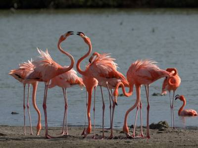 b2ap3_thumbnail_American-Flamingoes-perfect-curve-800_20190306-103415_1.jpg