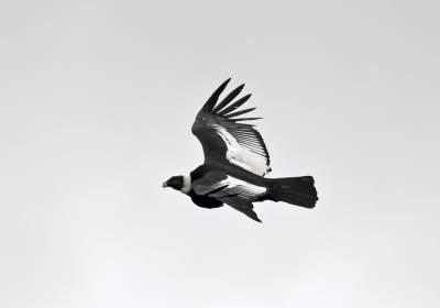 b2ap3_thumbnail_Andean-Condor-1-Chile-Patagonia-230220-1280-JJC.jpg