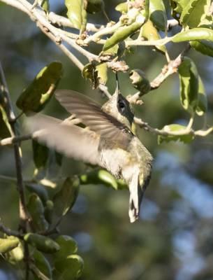 b2ap3_thumbnail_Annas-Hummingbird-2-Balboa-Park-San-Diego-1000-Feb-2019-JJC.jpg