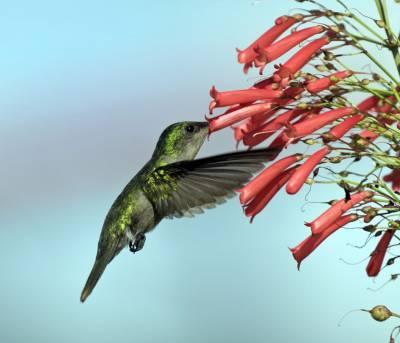b2ap3_thumbnail_Antillean-Crested-Hummingbird-female-St.-Marten.jpg