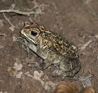 b2ap3_thumbnail_Asian-Common-Toad-Ambon-Jan-2020.jpg