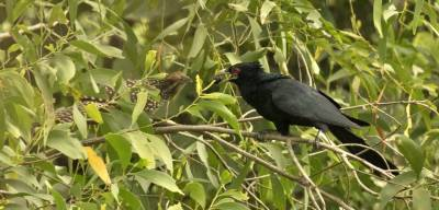 b2ap3_thumbnail_Asian-Koel-male-presenting-fruit-to-female-Port-Klang-1280-170318-JJC.jpg