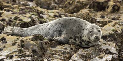 b2ap3_thumbnail_Atlantic-Grey-Seal-Farnes-110617-1280-JJC.jpg