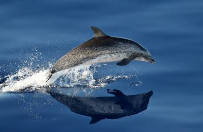 b2ap3_thumbnail_Atlantic-Spotted-Dolphin-adult-off-Lanzarote-300915-copyright-Jeff-Clarke.jpg