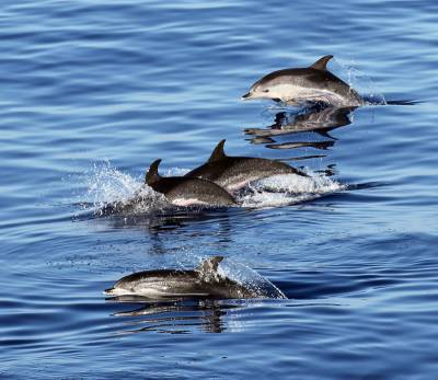 b2ap3_thumbnail_Atlantic-Spotted-dolphin-quartet-300915-off-Lanzarote-JJC-800.jpg