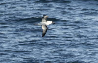 b2ap3_thumbnail_Atlantic-Yellow-nosed-Albatross-1000-170220-North-of-Puerto-Madryn-JJC.jpg