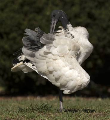 b2ap3_thumbnail_Australian-White-Ibis-Sydney-Botanical-Garden-Feb-2018-1000-JJC.jpg