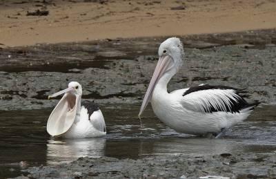 b2ap3_thumbnail_Australian-White-Pelicans-Cairns-Jan-2020-1280-JJC_20200405-090503_1.jpg
