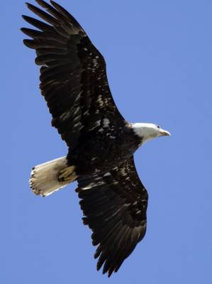 b2ap3_thumbnail_Bald-Eagle-Pinny-Park-1000-St.-Johns-Newfoundland-May-2109-JJC_20190613-091610_1.jpg