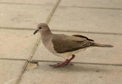 b2ap3_thumbnail_Bare-eyed-Dove-Bonaire-800-020219-JJC.jpg