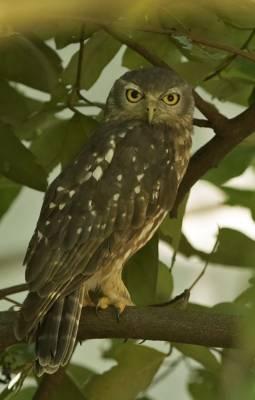 b2ap3_thumbnail_Barking-Owl-1-Darwin-090318-1000-JJC.jpg