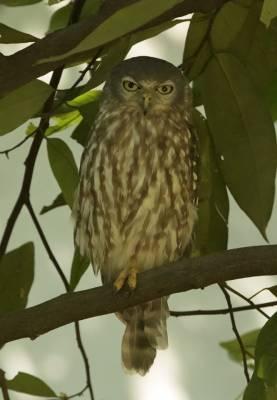 b2ap3_thumbnail_Barking-Owl-2-Darwin-090318-1000-JJC.jpg