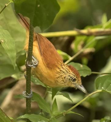 b2ap3_thumbnail_Barred-Ant-shrike-800-Tobago-JJC.jpg