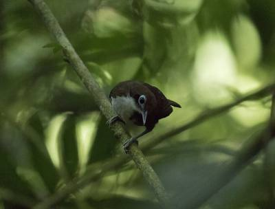 b2ap3_thumbnail_Bicoloured-Antbird-080219-Carara-Reserve-800-JJC.jpg