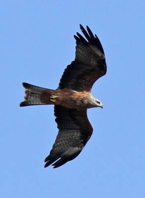 b2ap3_thumbnail_Black-Kite-4-Tarifa-800-JJC.jpg