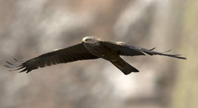 b2ap3_thumbnail_Black-Kite-Extremadura-1280-May-2018-JJC.jpg
