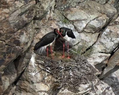 b2ap3_thumbnail_Black-Stork-pair-Penafalcon-Extremadura-May-2018-1000-JJC.jpg