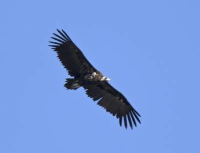 b2ap3_thumbnail_Black-Vulture-Extremadura-May-2018-1000-JJC.jpg
