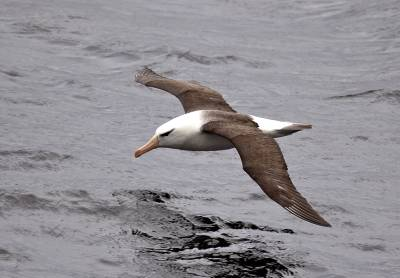 b2ap3_thumbnail_Black-browed-Albatross-210220-nr-Cape-Horn-1280-JJC.jpg