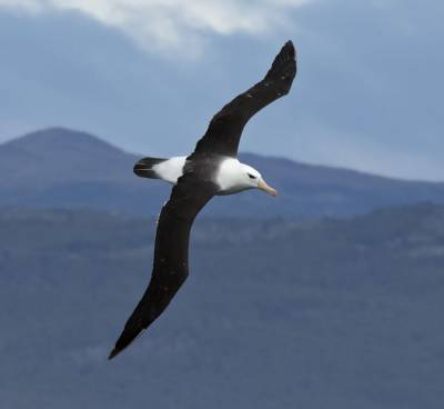 b2ap3_thumbnail_Black-browed-Albatross-Beagle-Channel-210220-1000-JJC.jpg