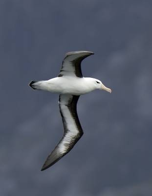 b2ap3_thumbnail_Black-browed-Albatross-Chilean-fjords-JJC-800.jpg
