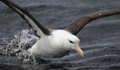 b2ap3_thumbnail_Black-browed-Albatross-take-off-Beagle-Channel-210220-1280-JJC.jpg