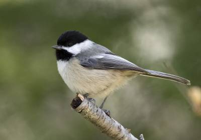 b2ap3_thumbnail_Black-capped-Chickadee-Pinny-Park-St.-Johns-Newfoundland--May-2019-1280-JJC_20190613-091614_1.jpg