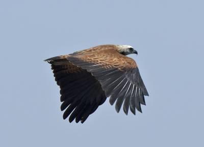 b2ap3_thumbnail_Black-collered-Hawk-800-JJC.jpg