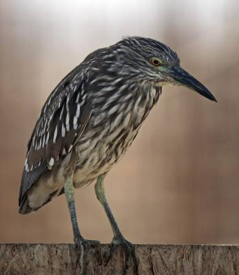 b2ap3_thumbnail_Black-crowned-Night-Heron-juv-Cocquimbo-1000-JJC.jpg