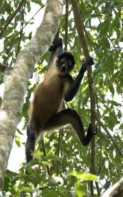 b2ap3_thumbnail_Black-handed-Spider-Monkey-Carara-Reserve-080219-800vert.jpg