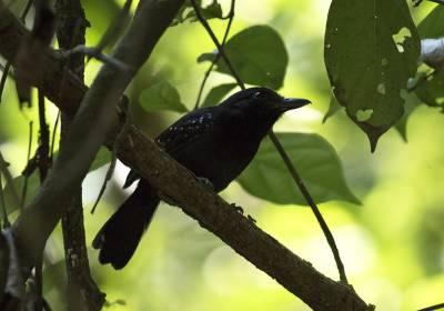 b2ap3_thumbnail_Black-hooded-Antshrike-800-Carara-Reserve-080219-JJC.jpg