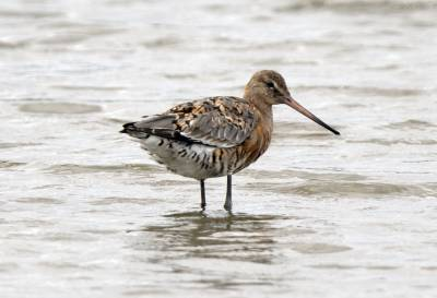 b2ap3_thumbnail_Black-tailed-Godwit-Farlington-Marshes.jpg