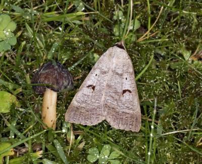 b2ap3_thumbnail_Blackneck-moth-garden-240617-1000-JJC.jpg