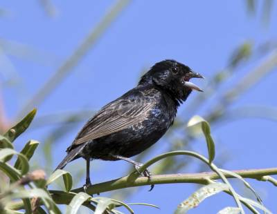 b2ap3_thumbnail_Blue-black-Grassquit-Arica-800-JJC.jpg