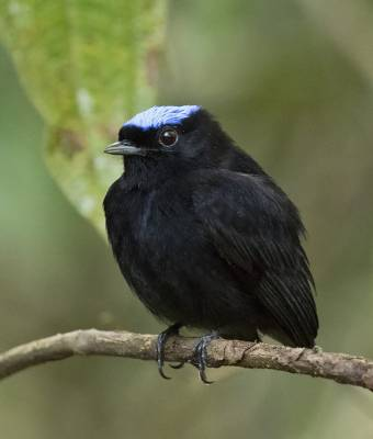 b2ap3_thumbnail_Blue-crowned-Manakin-3-Pipeline-Rd-050219-800vert-JJC.jpg