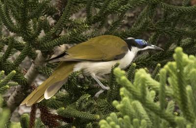 b2ap3_thumbnail_Blue-faced-Honeyeater-Brisbane-1000-020318-JJC.jpg