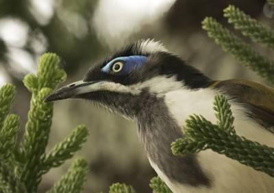 b2ap3_thumbnail_Blue-faced-Honeyeater-headshot-Brisbane-1000-020318-JJC.jpg
