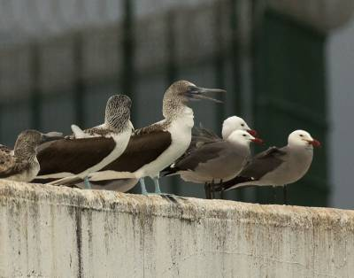 b2ap3_thumbnail_Blue-footed-Boobys-and-Heerman-Gulls-Puerta-Vallarta-130319-800-JJC.jpg