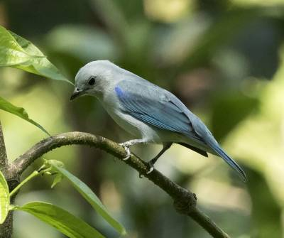 b2ap3_thumbnail_Blue-gray-Tanager-Cartagena-040919-800-JJC.jpg