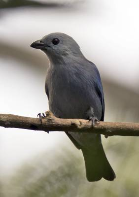 b2ap3_thumbnail_Blue-grey-Tanager-Tobago-800-JJC.jpg