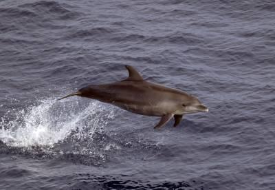 b2ap3_thumbnail_Bottlenose-Dolphin-offshore-form-1280-110318-JJC.jpg