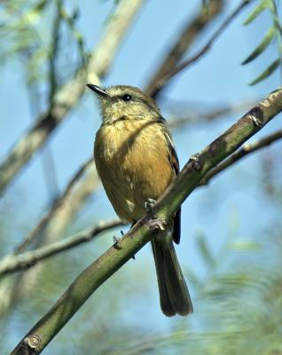 b2ap3_thumbnail_Bran-coloured-Flycatcher-Arica-800-JJC.jpg