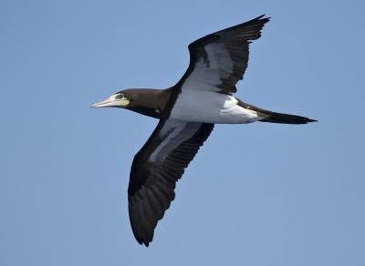 b2ap3_thumbnail_Brown-Booby-adult-off-Costa-Rica-070219-800-JJC.jpg