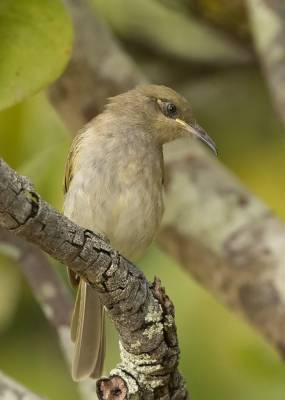 b2ap3_thumbnail_Brown-Honeyeater-Cairns-100120-1000-JJC.jpg